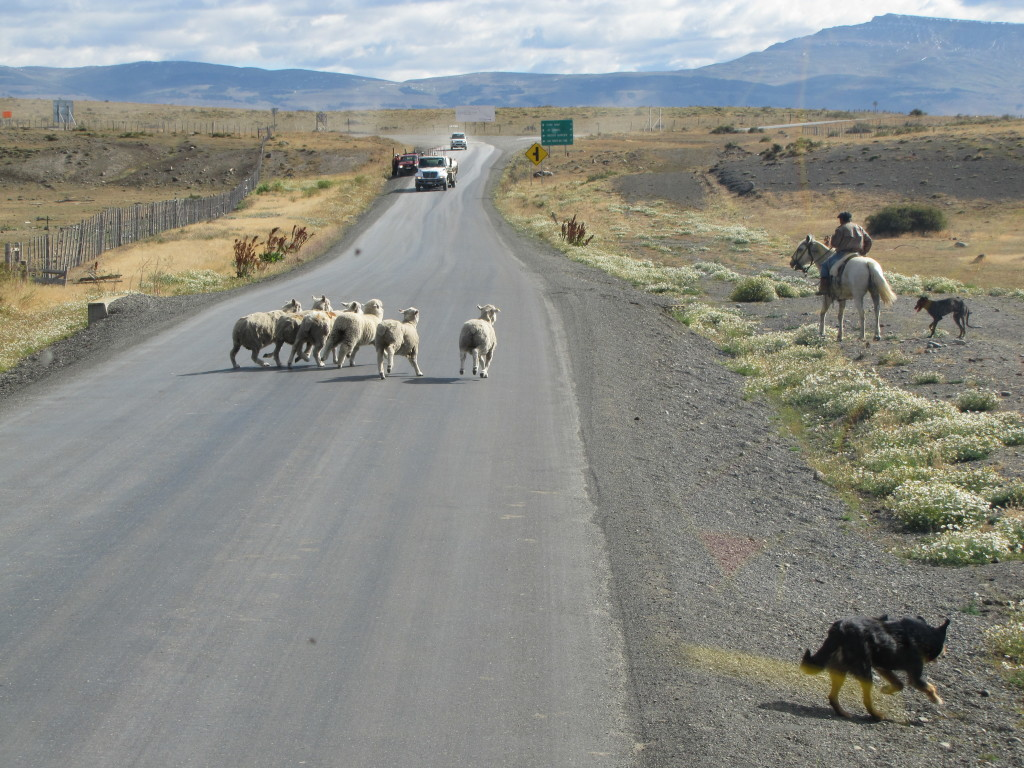 Gaucho herding sheep in Chilean Patagonia