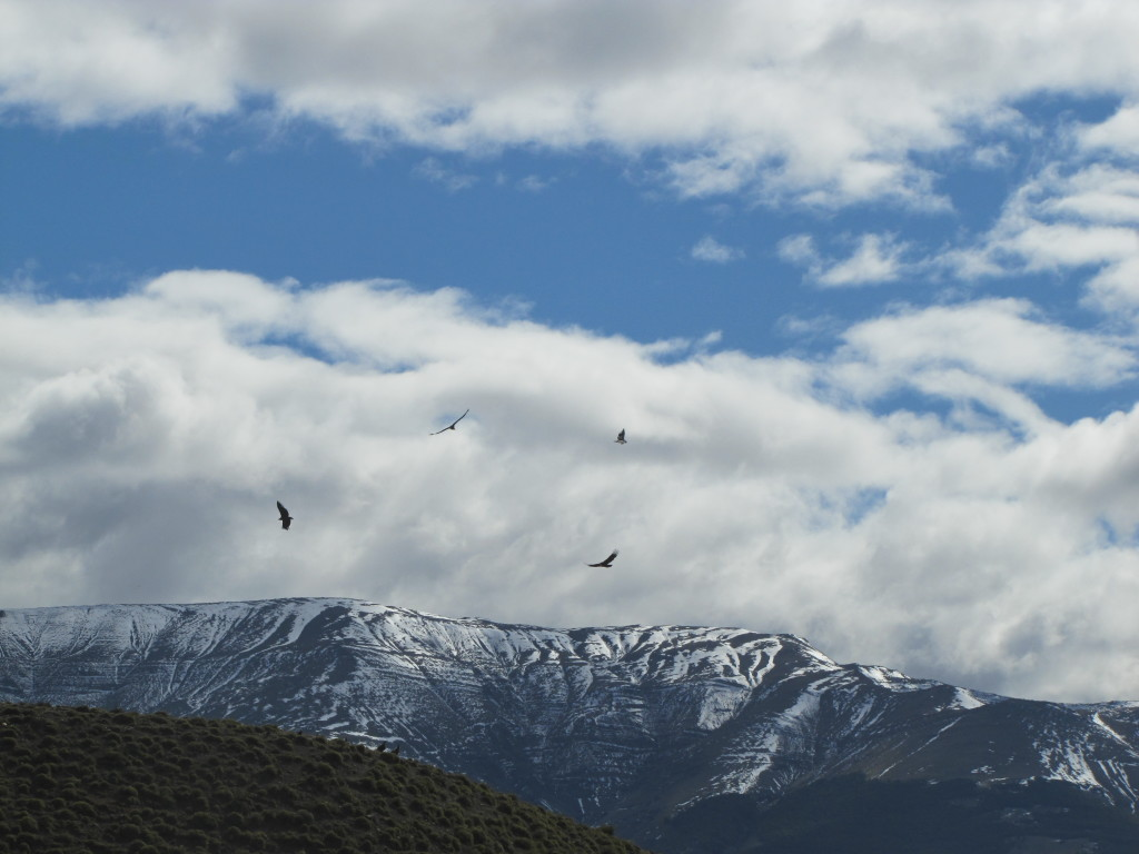 Andean Condors in Chile