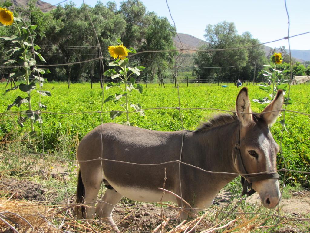 Vicuña donkey