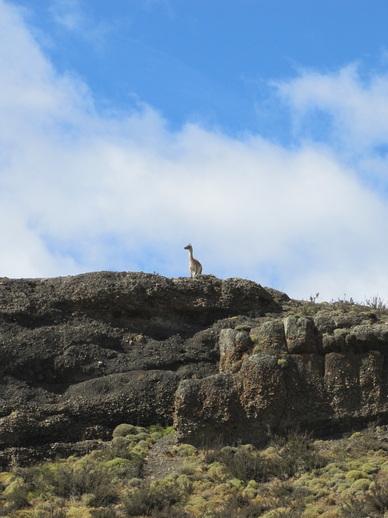 Guanaco on the lookout