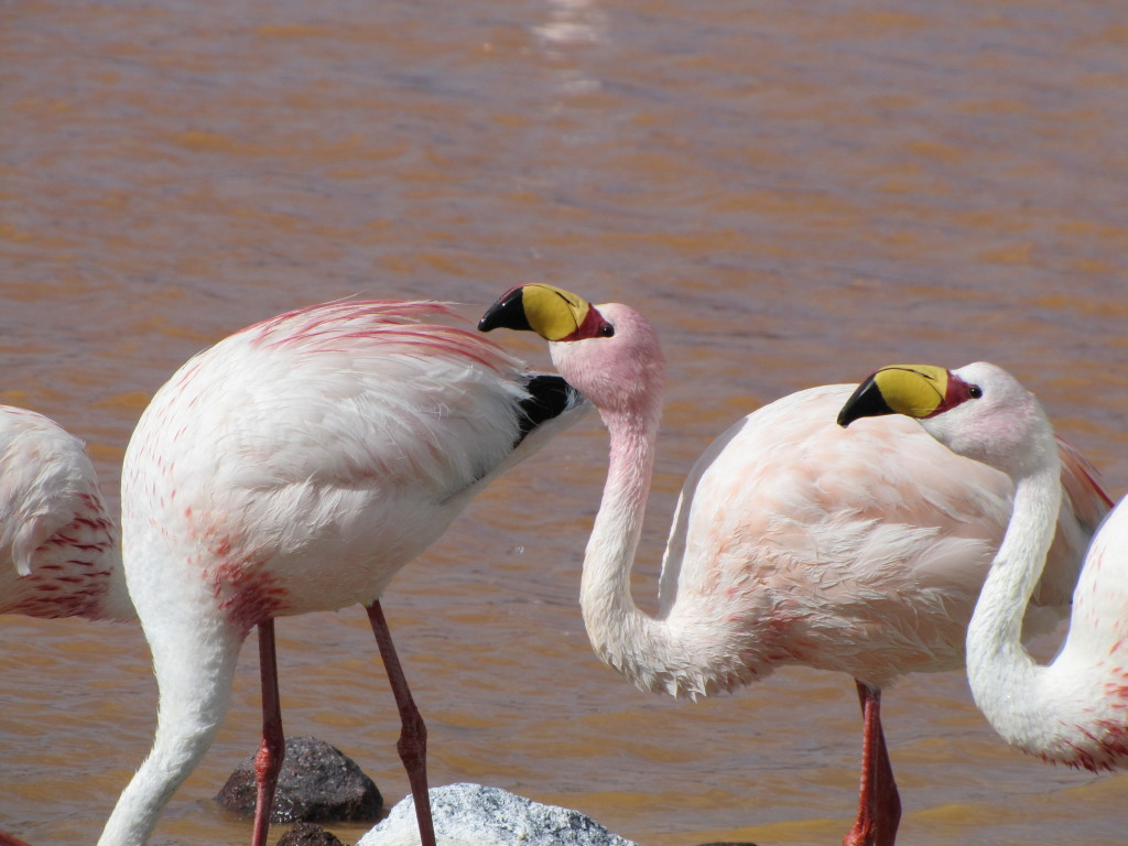 One of the species of flamingos we saw along the way